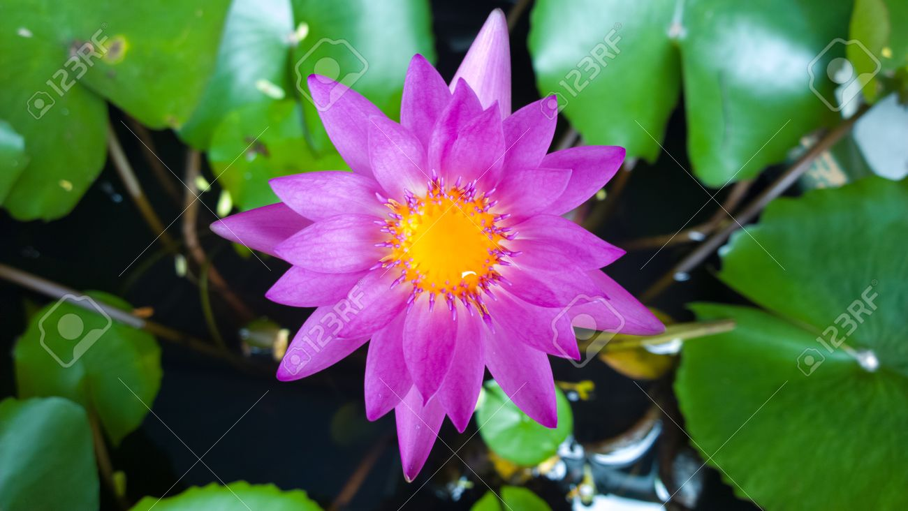 Blue water lily flower or lotus in bloom viewed from above against blue water lily flower or lotus in bloom viewed from above against green lily pads and izmirmasajfo