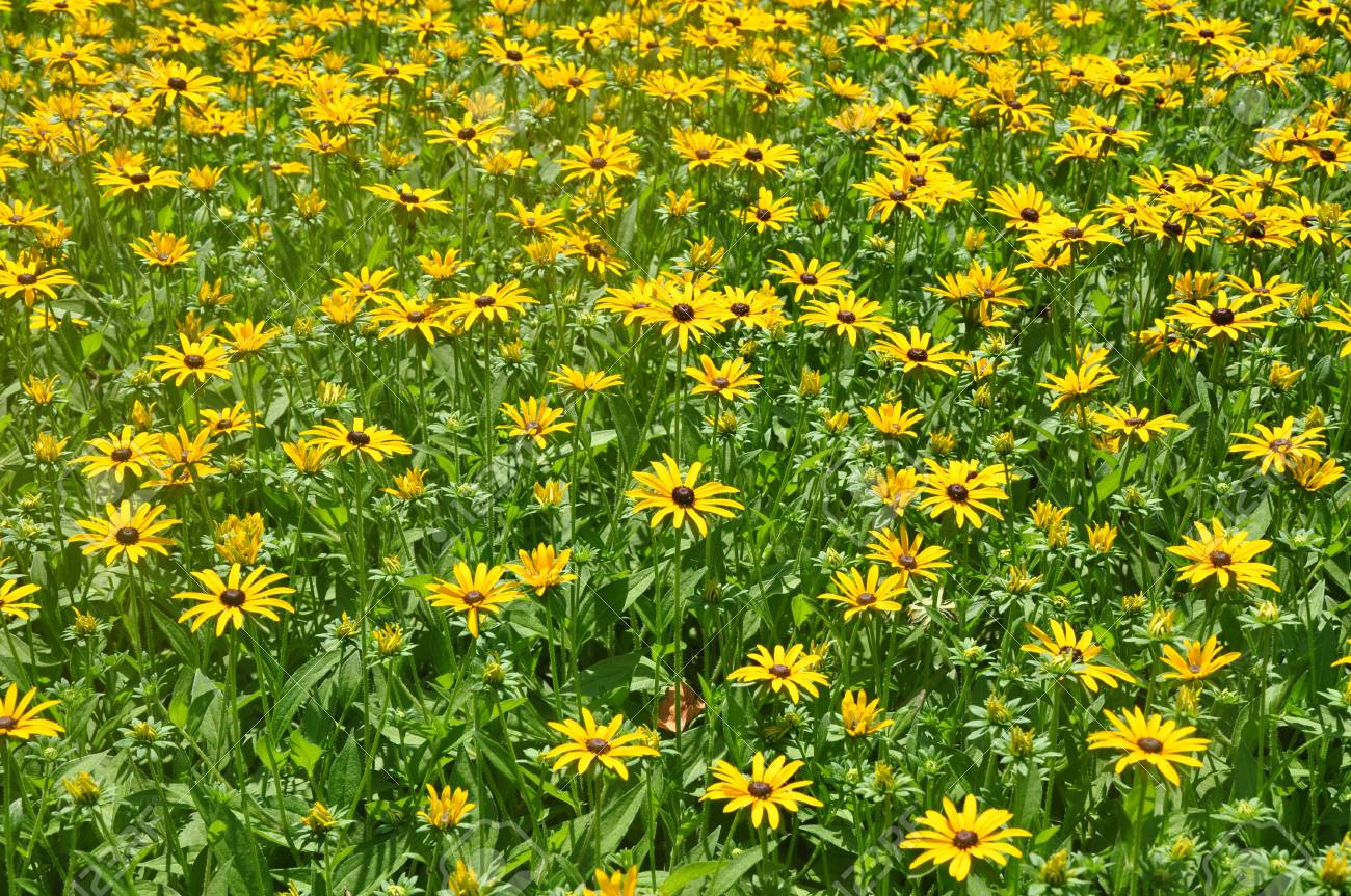 A Lot Of Yellow Flowers Background Stock Photo Picture And Royalty