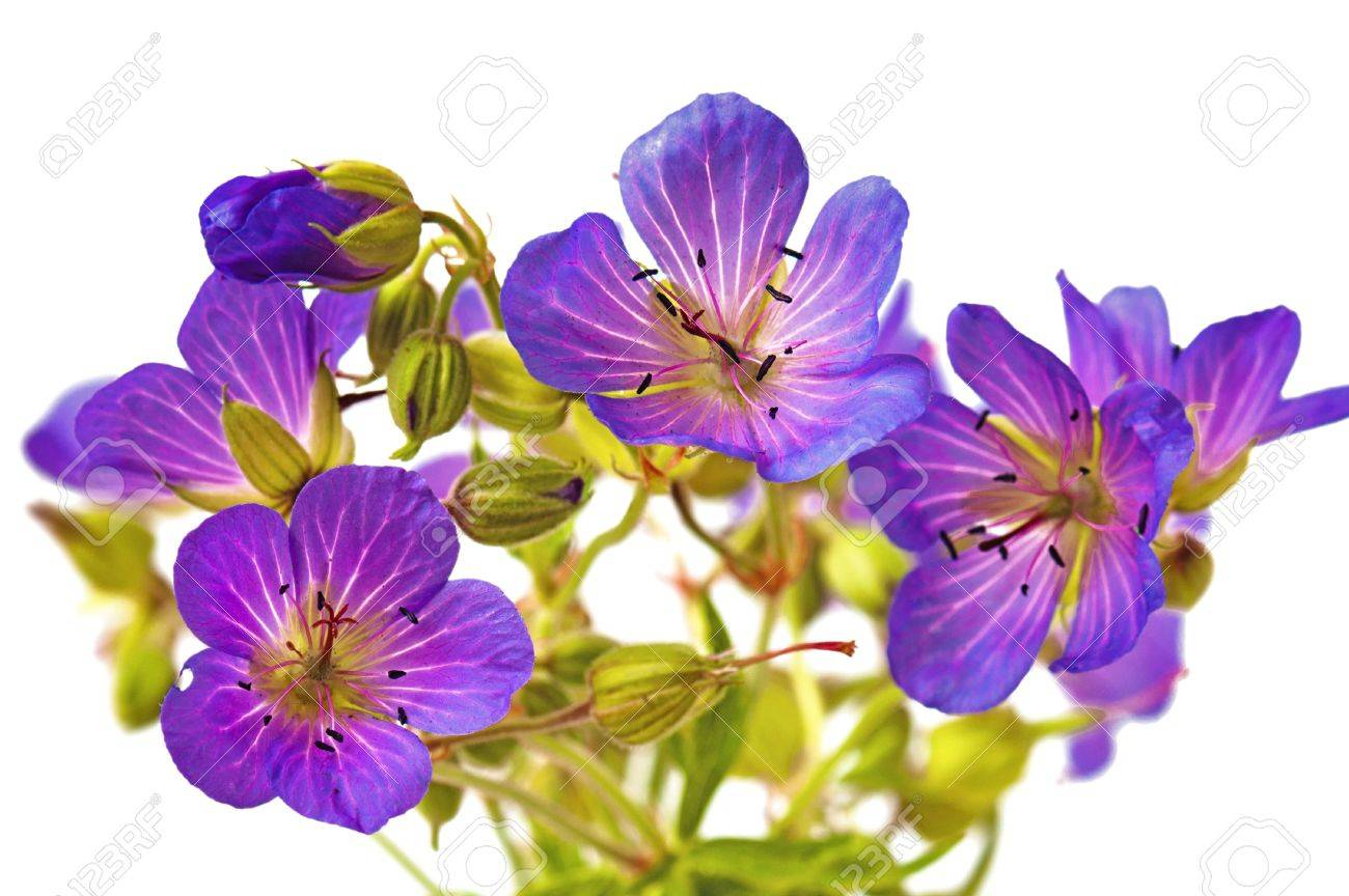 Wild flowers  it is isolated on the white Stock Photo - 7858741