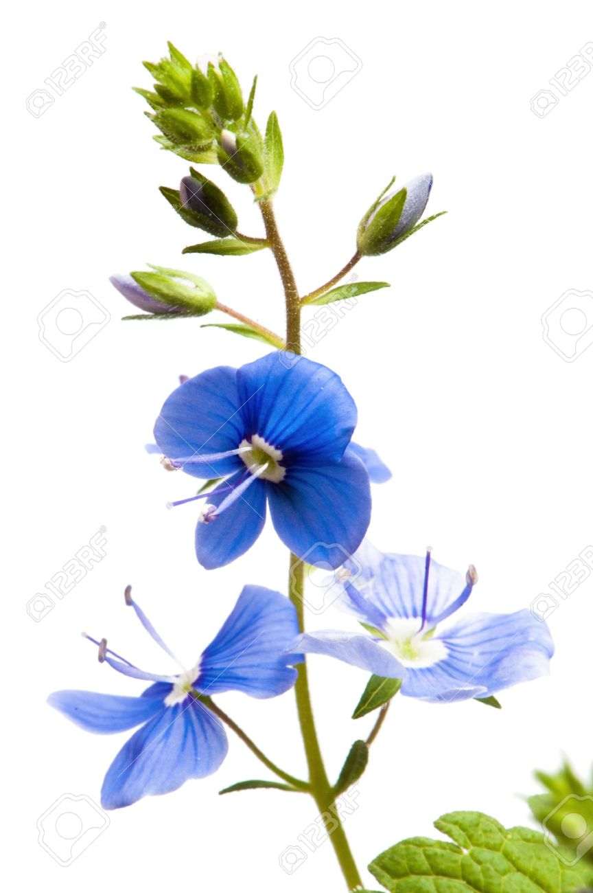 Dark blue field flower it is isolated on white stock photo dark blue field flower it is isolated on white stock photo 15816895 dhlflorist Gallery