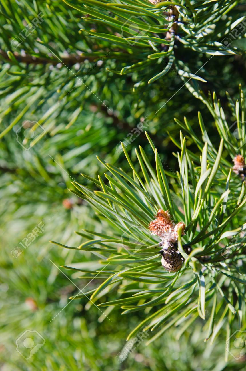 Pine spring blossoming bud, close-up Stock Photo - 19837114