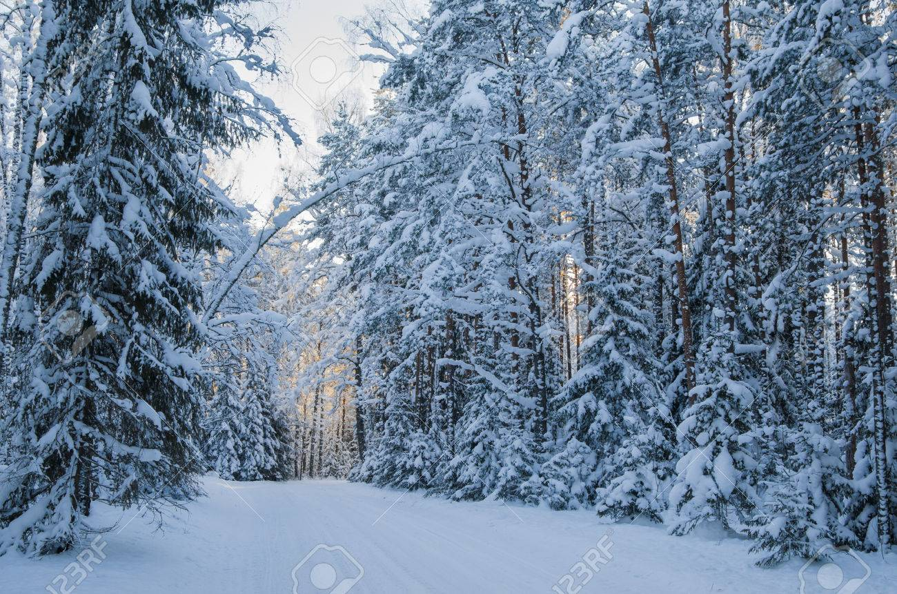 34014448-spruce-covered-with-snow-in-win