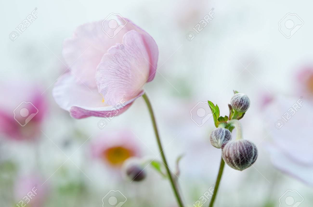 Pale Pink Flower Japanese Anemone Close Up Royalty Free Stok