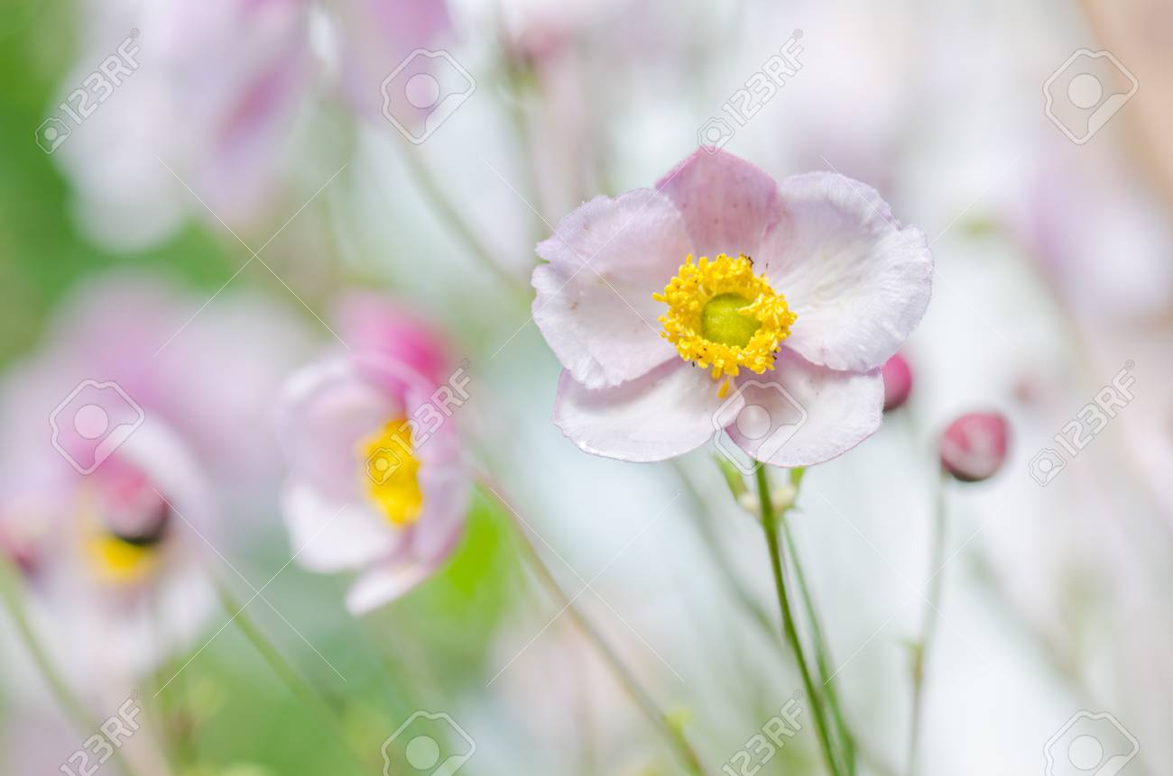 Pale Pink Flower Japanese Anemone Close Up Note Shallow Depth
