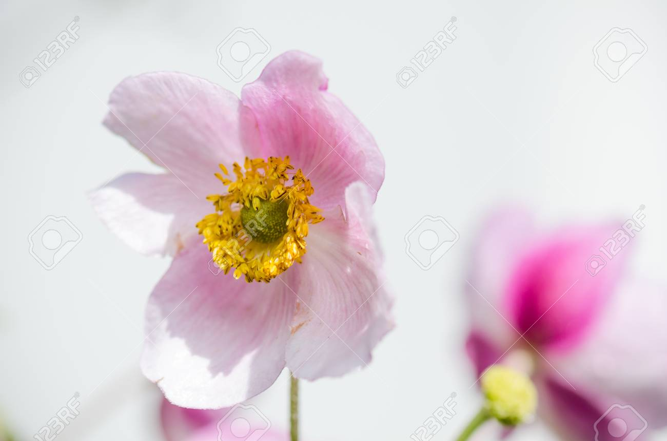 Pale Pink Flower Japanese Anemone Close Up Stock Photo Picture And