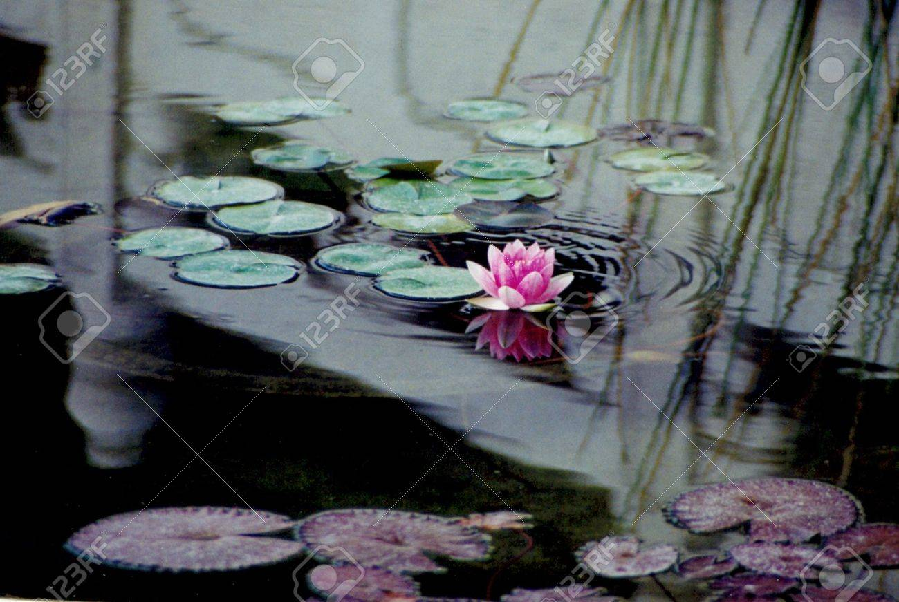 Oriental Reflection In Lily Pond Stock Photo - 312572
