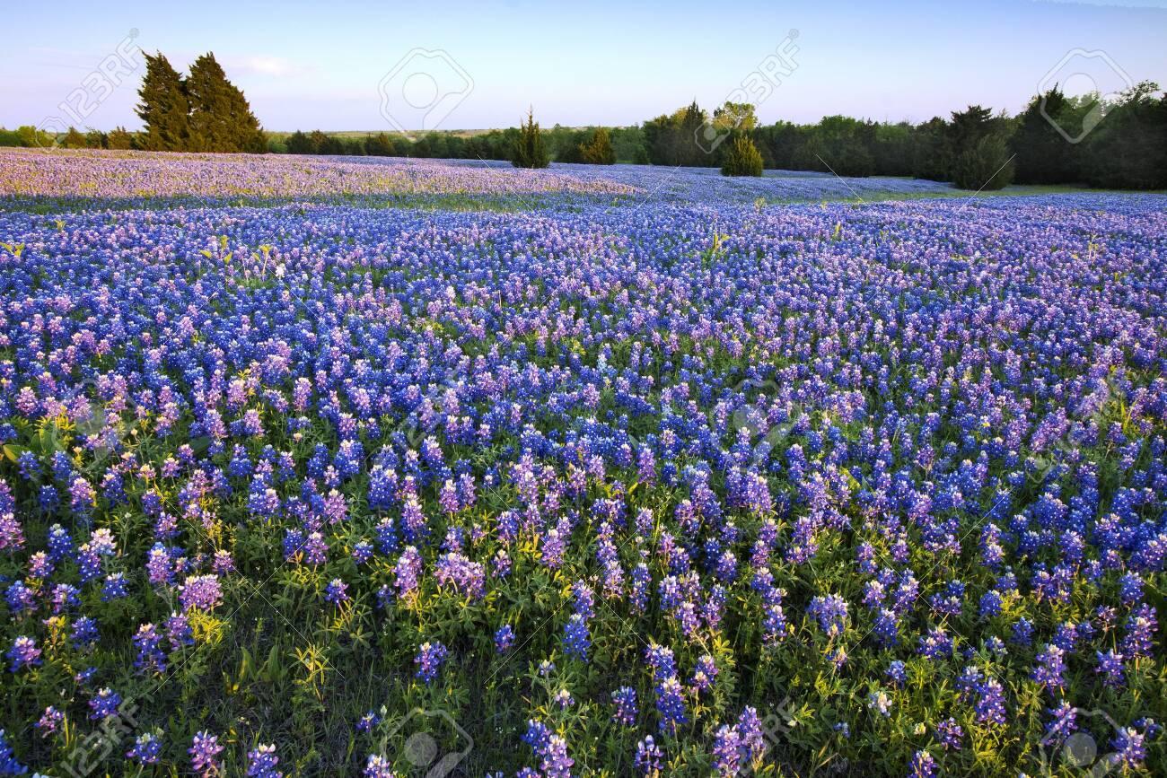 Bluebonnet filled Meadow on the Ennis Bluebonnet Trail in Ellis County, Texas. - 132096746