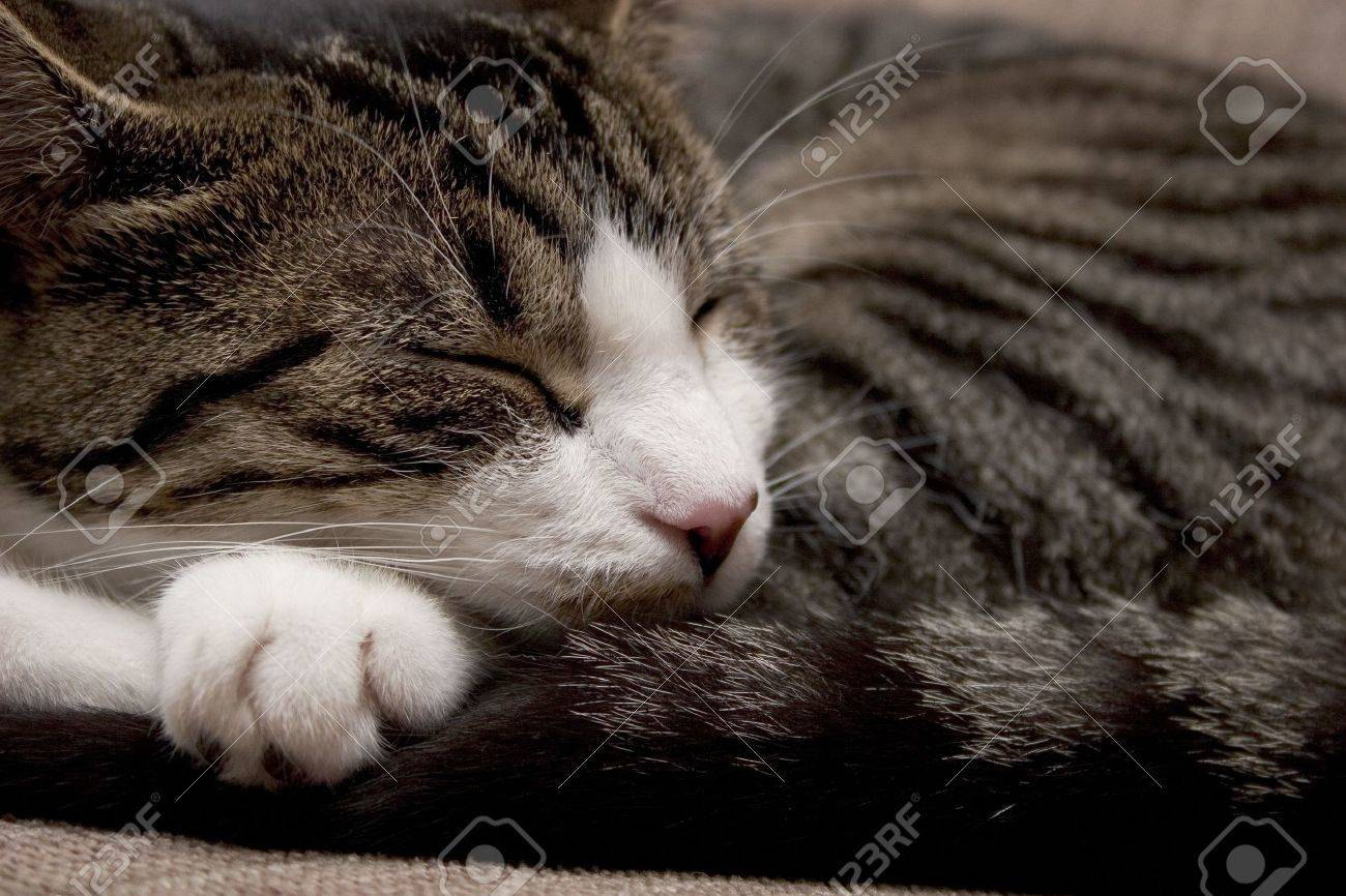 Sleeping cat curled up Stock Photo - 275978