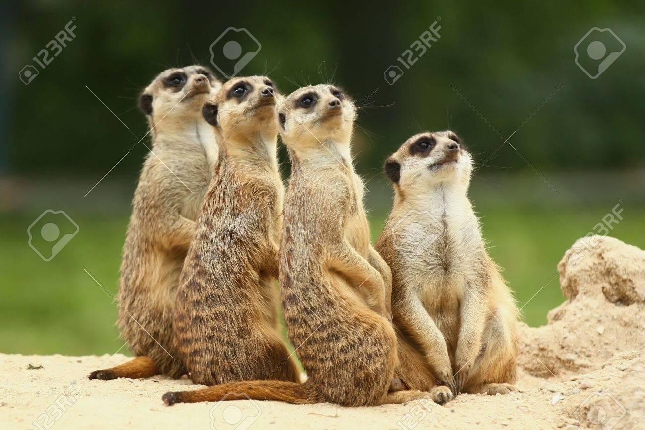 Meerkats (Suricata suricatta) - 8350905