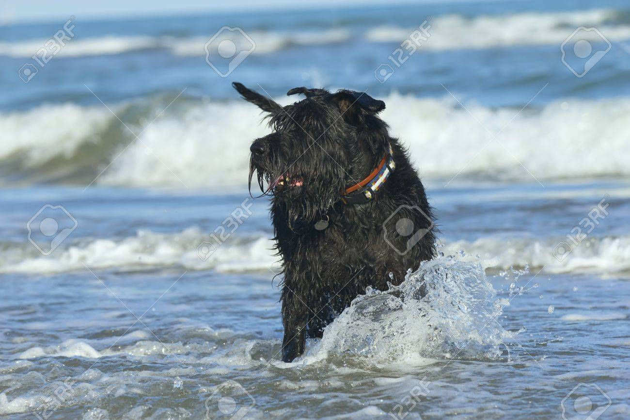 Big Black Schnauzer Dog standing in the ocean waves on the coast Stock Photo - 13181025