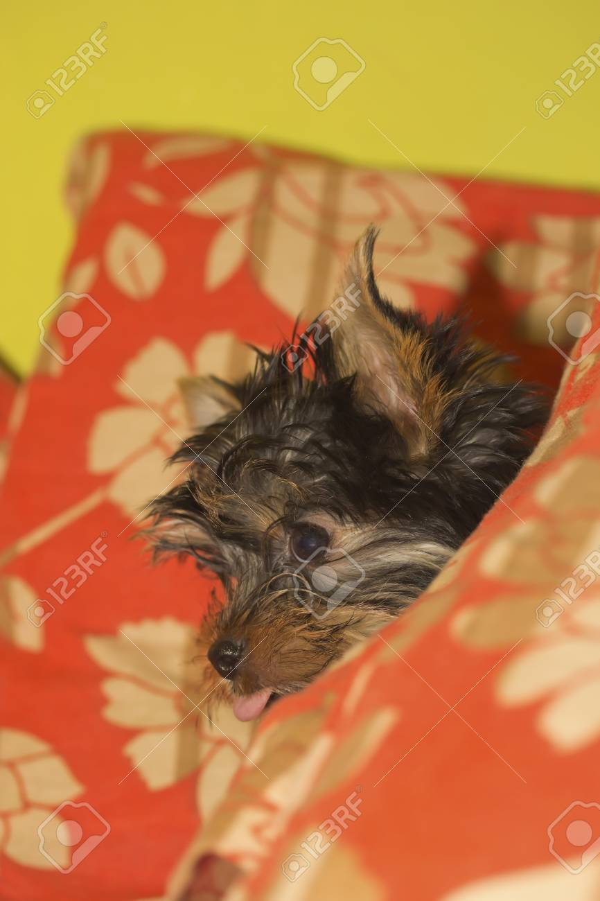 Yorkshire terrier puppy Stock Photo - 13180942
