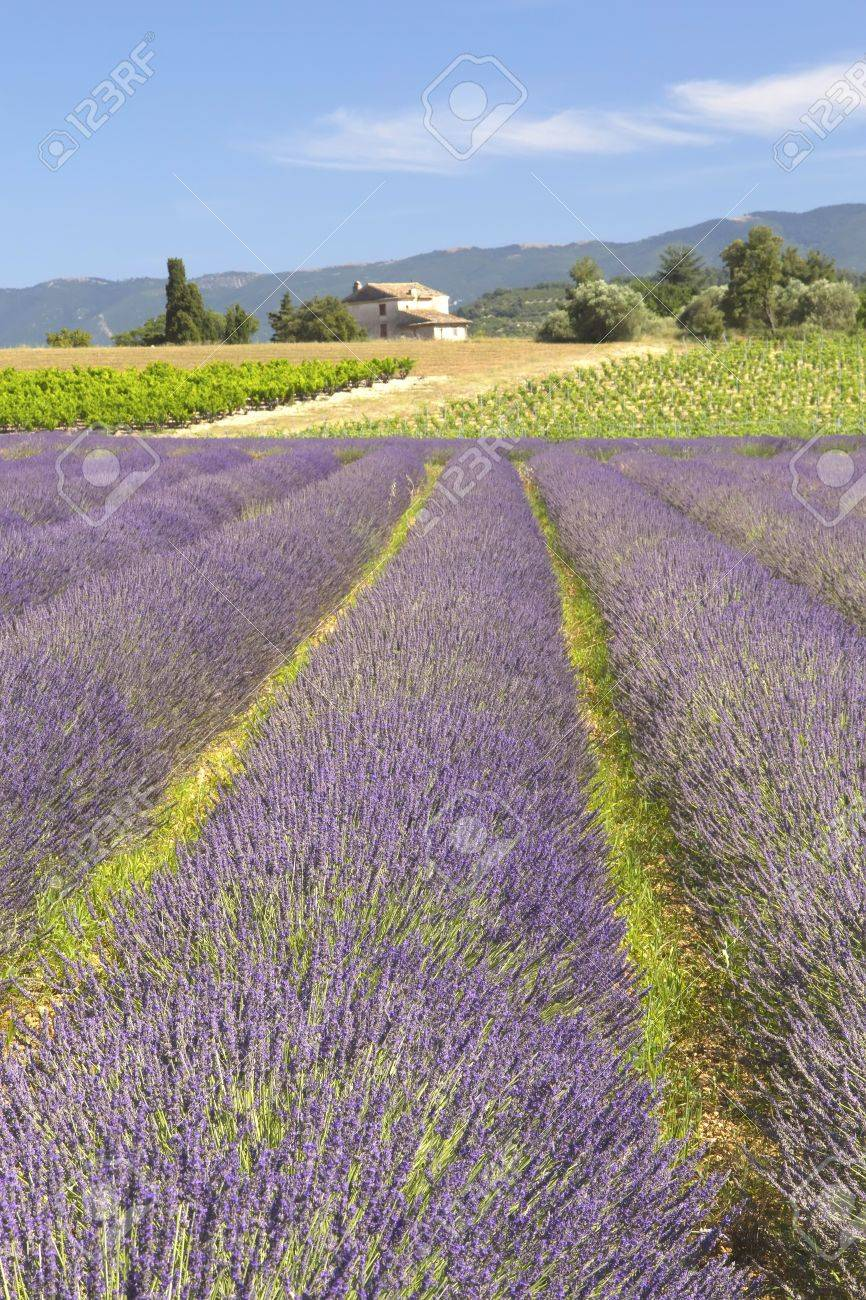 View of the countryside with lavender field Provence, France - 14966558