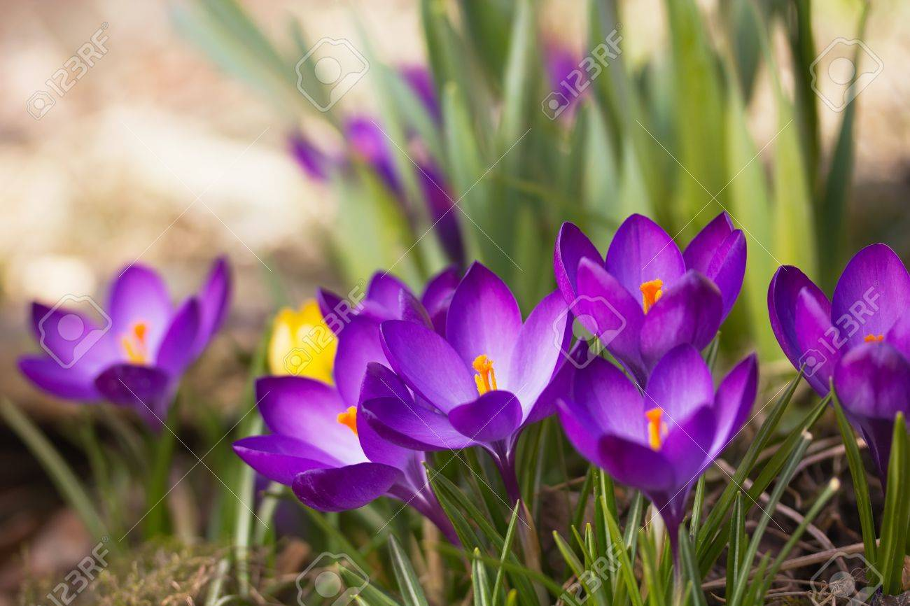 General view of the purple saffron flowers Horizontally - 20302433