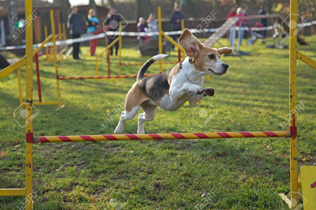 Beagle bitch is jumping an obstacle outdoors. - 23909977