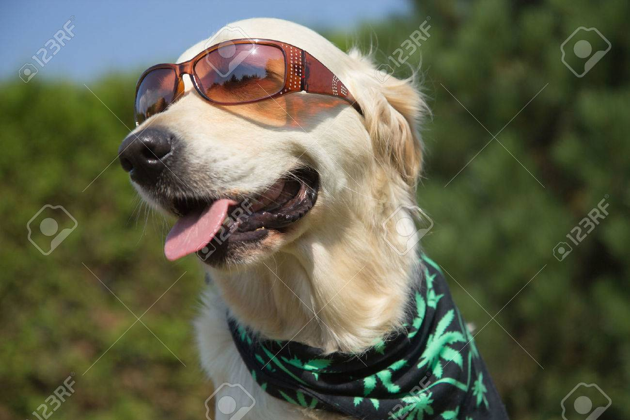 Golden Retriever is smiling for the camera. Sunglasses has on his eyes and scarf textured cannabis leaves has around his neck. - 31574860