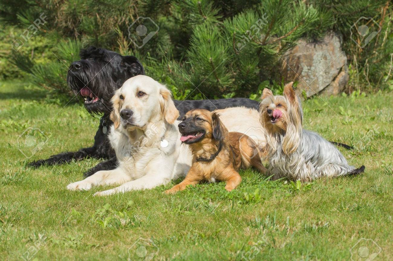 The group of dogs is lying on the lawn. Yorkshire Terrier has protruding tongue. - 37636696