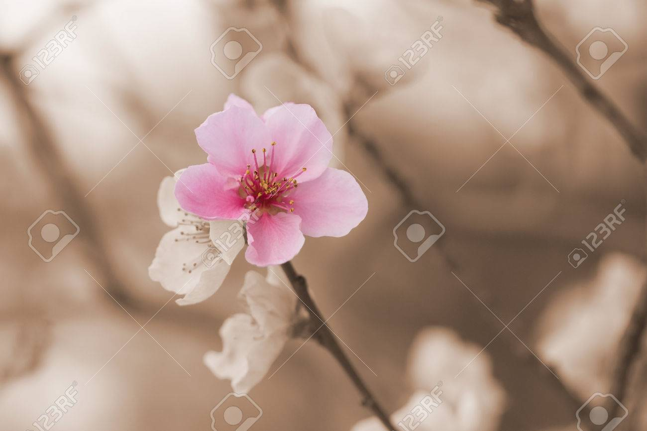 Closeup of a nectarine flower blooming color splash effect photo one flower nectarines is