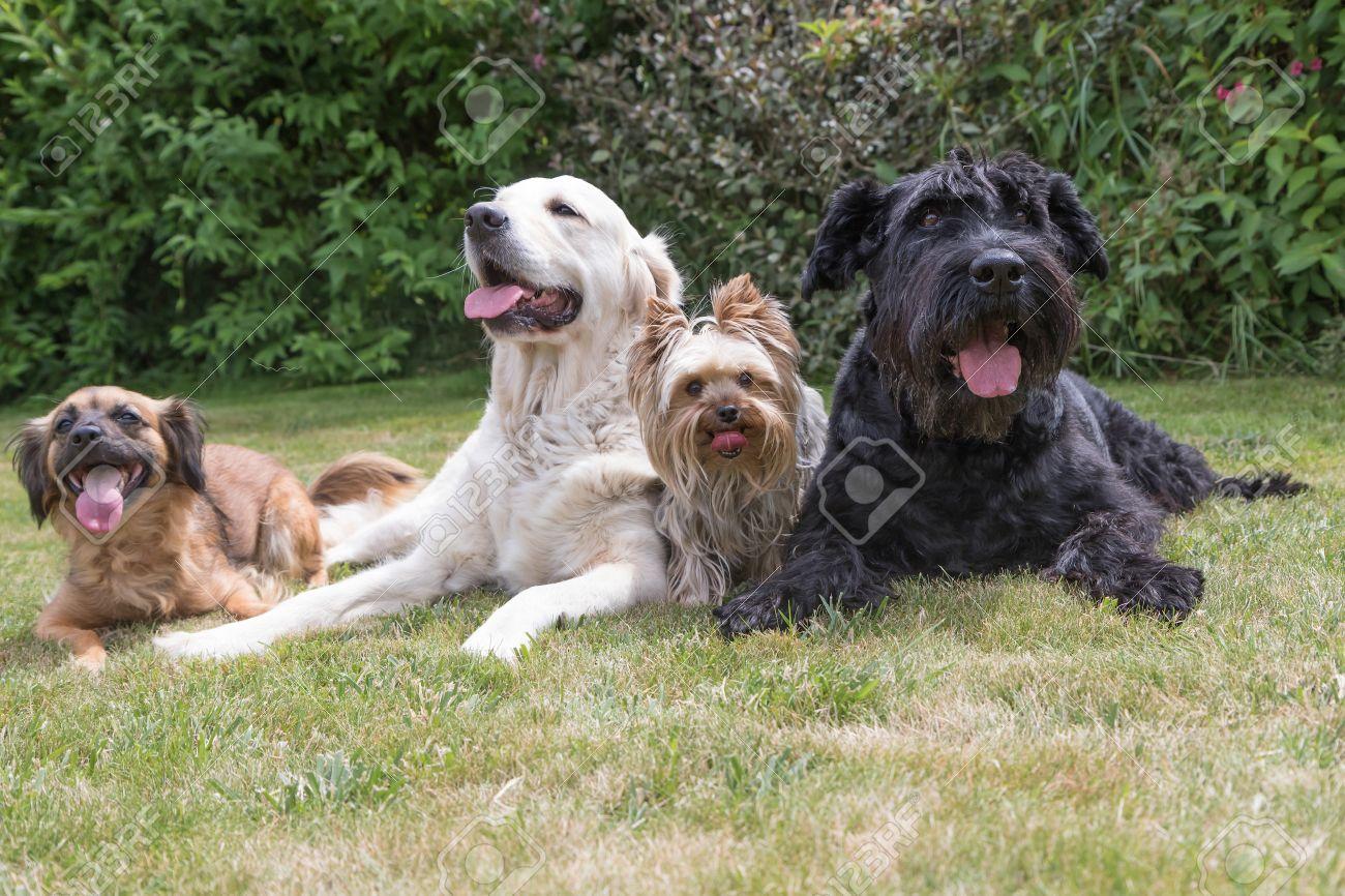 Perro Del Hibrido Gigante Schnauzer Negro Yorkshire Terrier Y