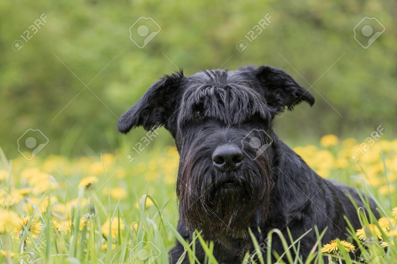 je cherche un partenaire pour mon chien schnauzer québec
