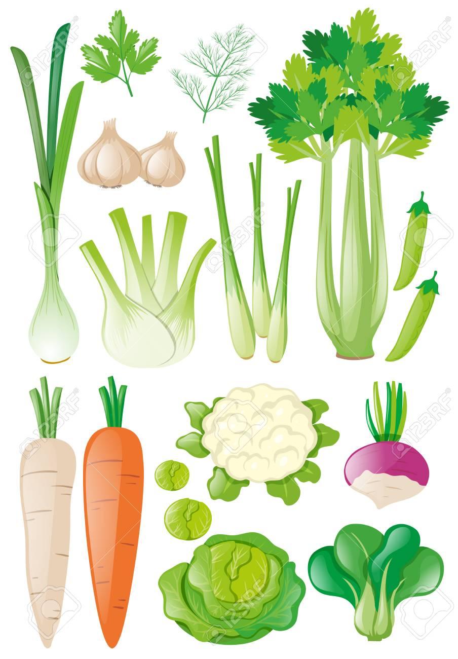 Diferentes Tipos Vegetales Ilustración Ilustraciones Vectoriales Clip Art Vectorizado Libre De Derechos Image 73787352