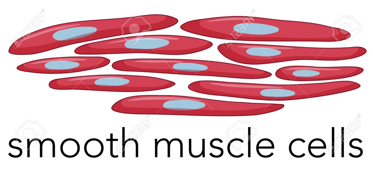 Image Of Smooth Muscle Cells Illustration Royalty Free Cliparts