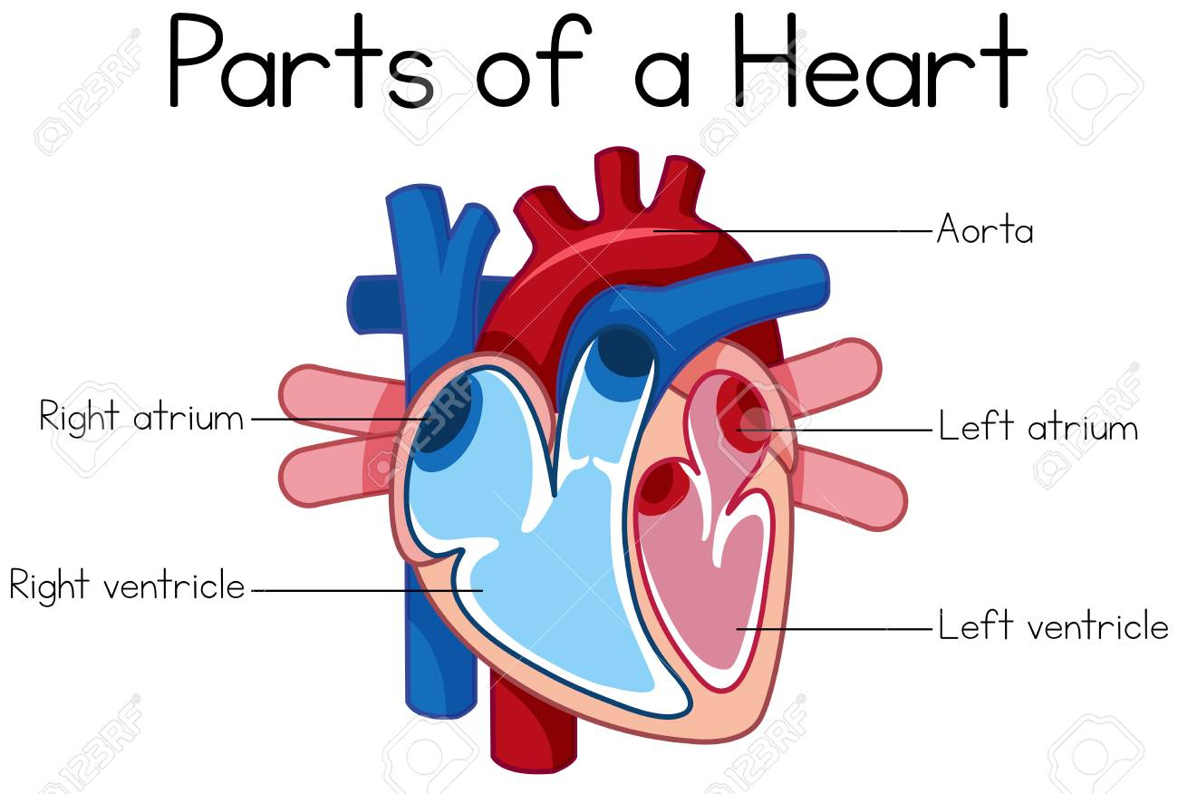 Parts Of Heart Diagram Illustration
