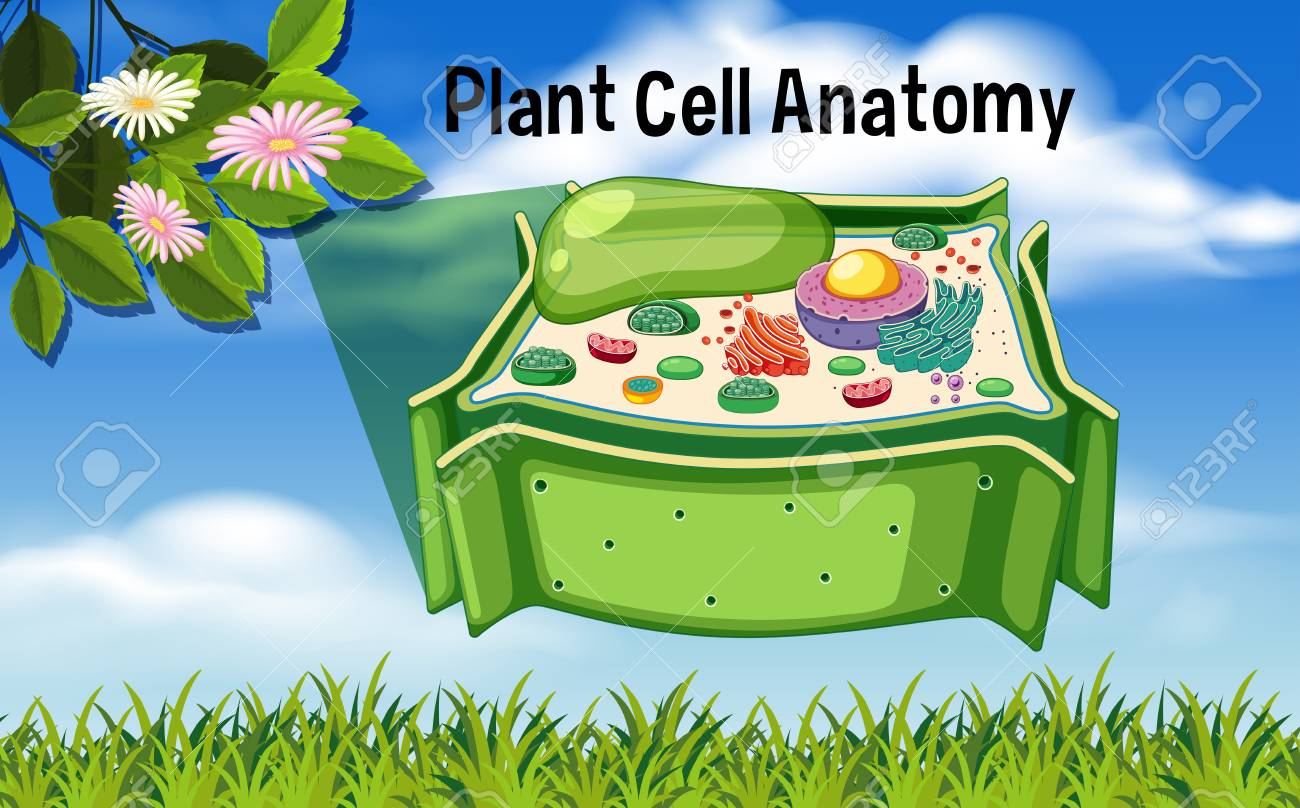 Plant Cell Anatomy Diagram Illustration Royalty Free Cliparts