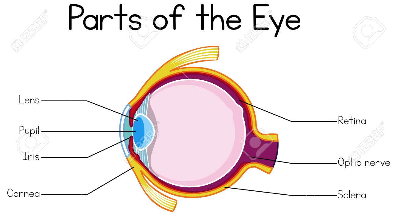 Part Of Human Eye Illustration Royalty Free Cliparts Vectors And