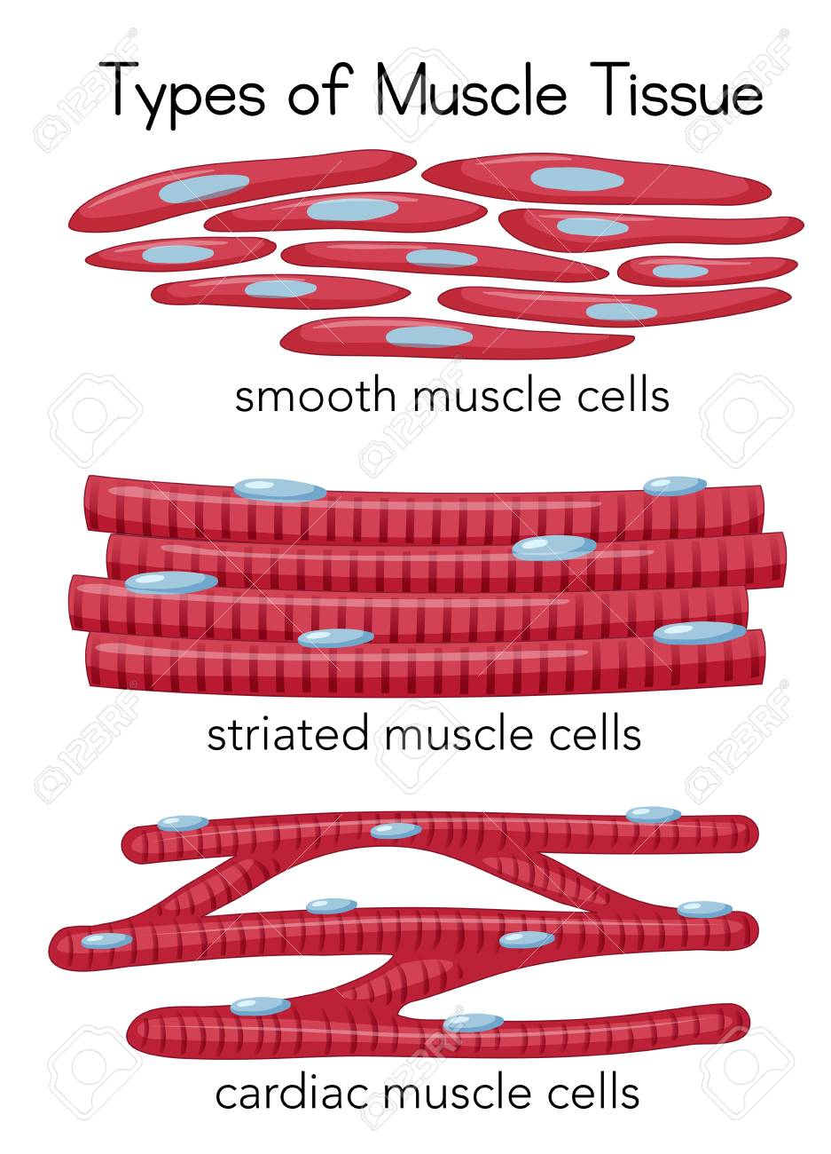 Types of Muscle Tissue illustration - 115004028