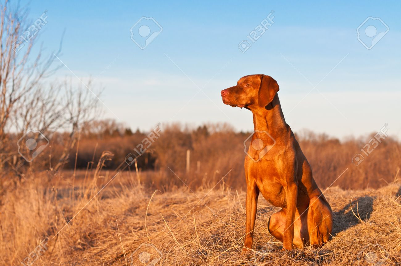 A portrait of a sitting Vizsla dog in a field the spring. Stock Photo - 8365370