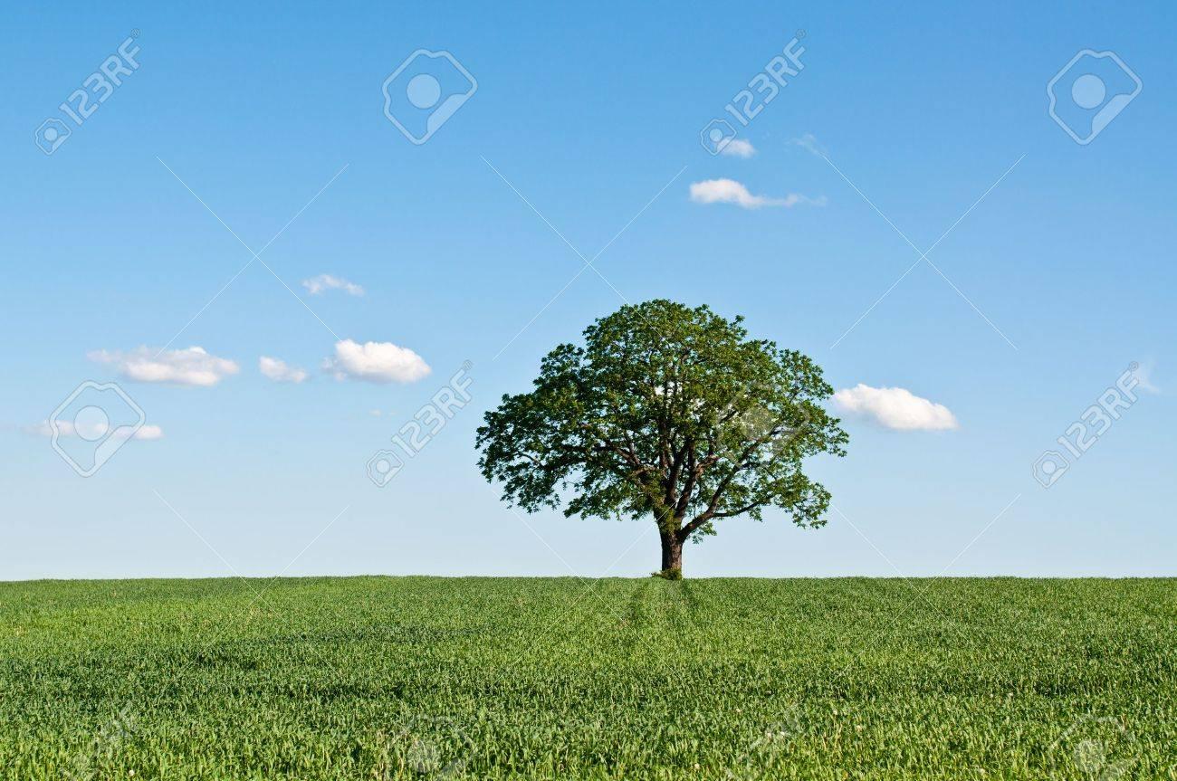 banque dimages un arbre lone se dresse dans un champ de ferme vert avec le ciel bleu et les nuages en arrire plan - Arbre Ciel