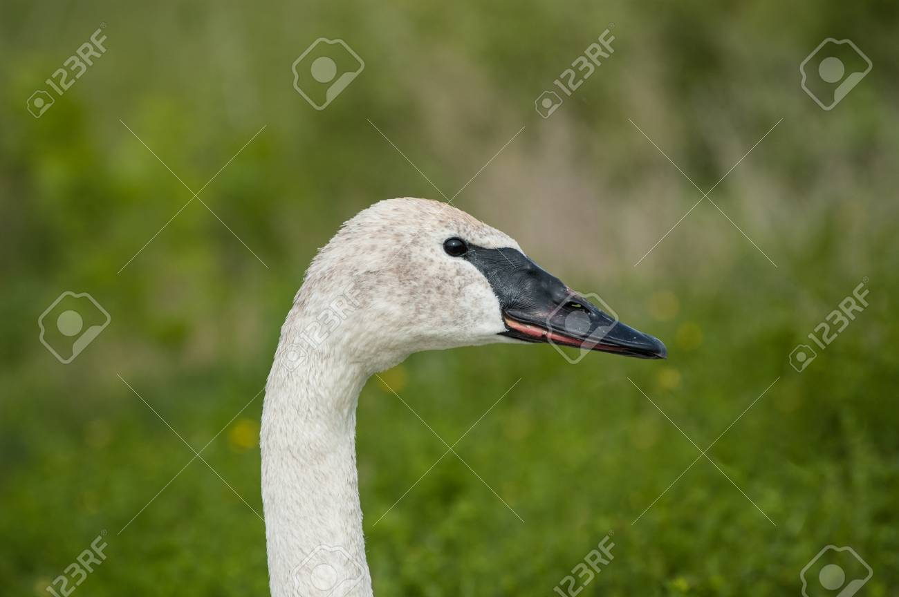 The head and neck of a Trumpeter swan. Stock Photo - 14786805
