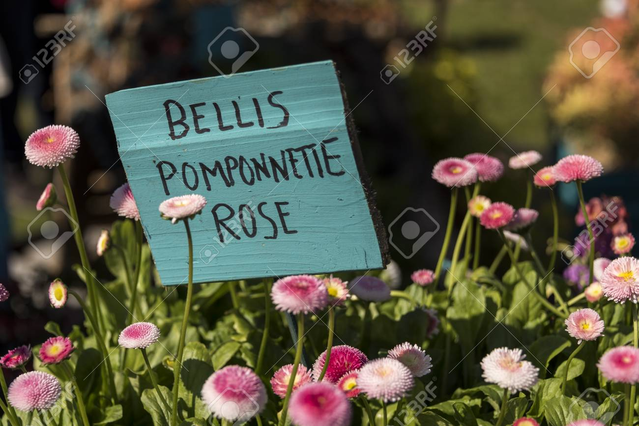 Lots of pink flowers pomponette rose or english daisy blooming lots of pink flowers pomponette rose or english daisy blooming against a sign naming izmirmasajfo