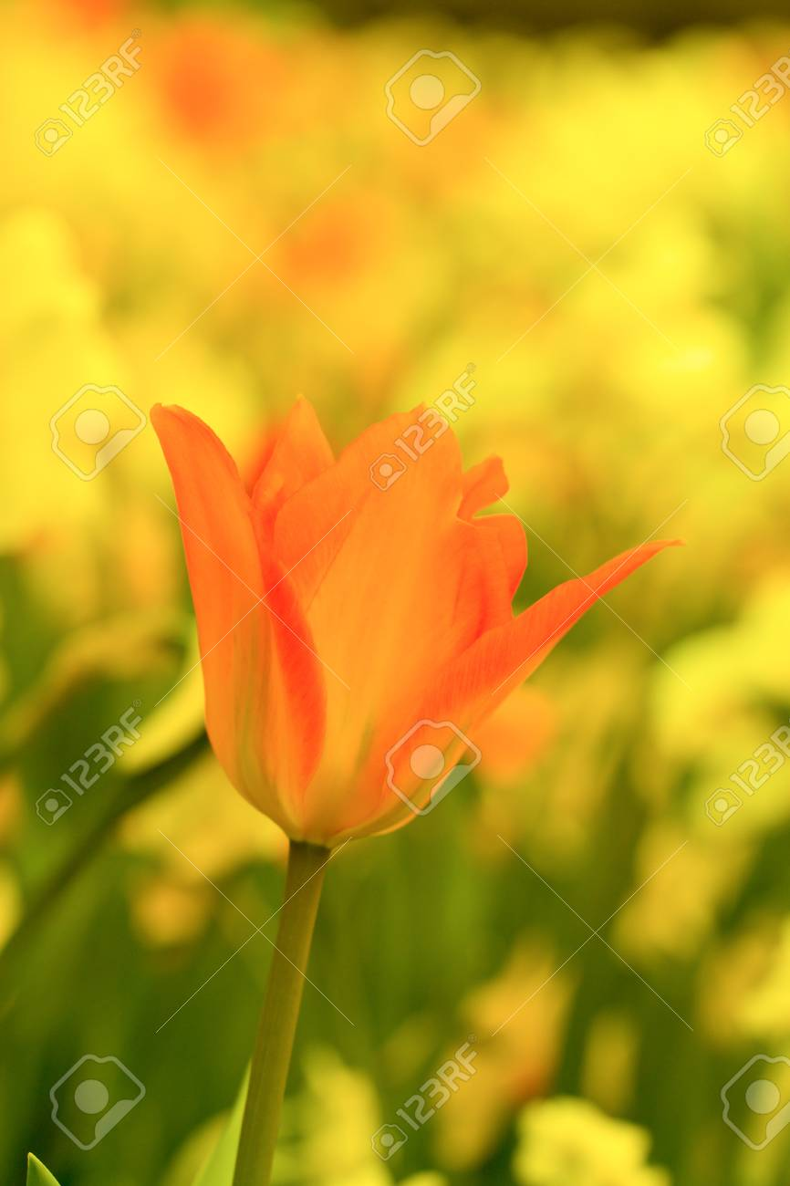 Orange And Red Tulip With Yellow Flowers In The Background Stock