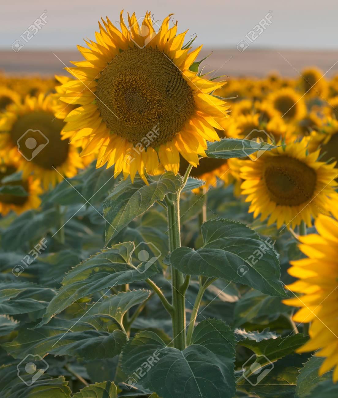 Sunflower Fields in Summer Stock Photo - 18809737