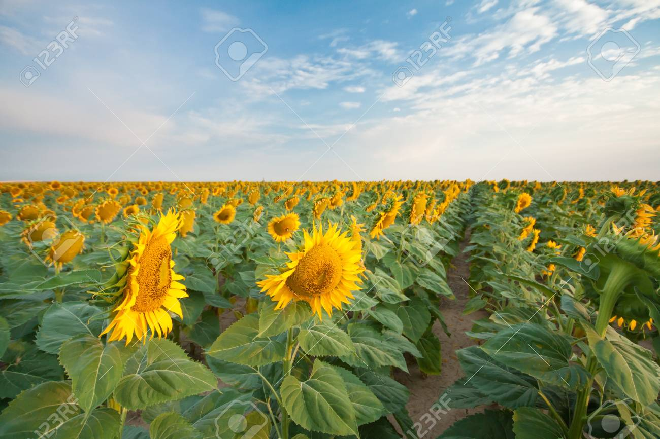 Sunflower Fields in Summer Stock Photo - 18809784