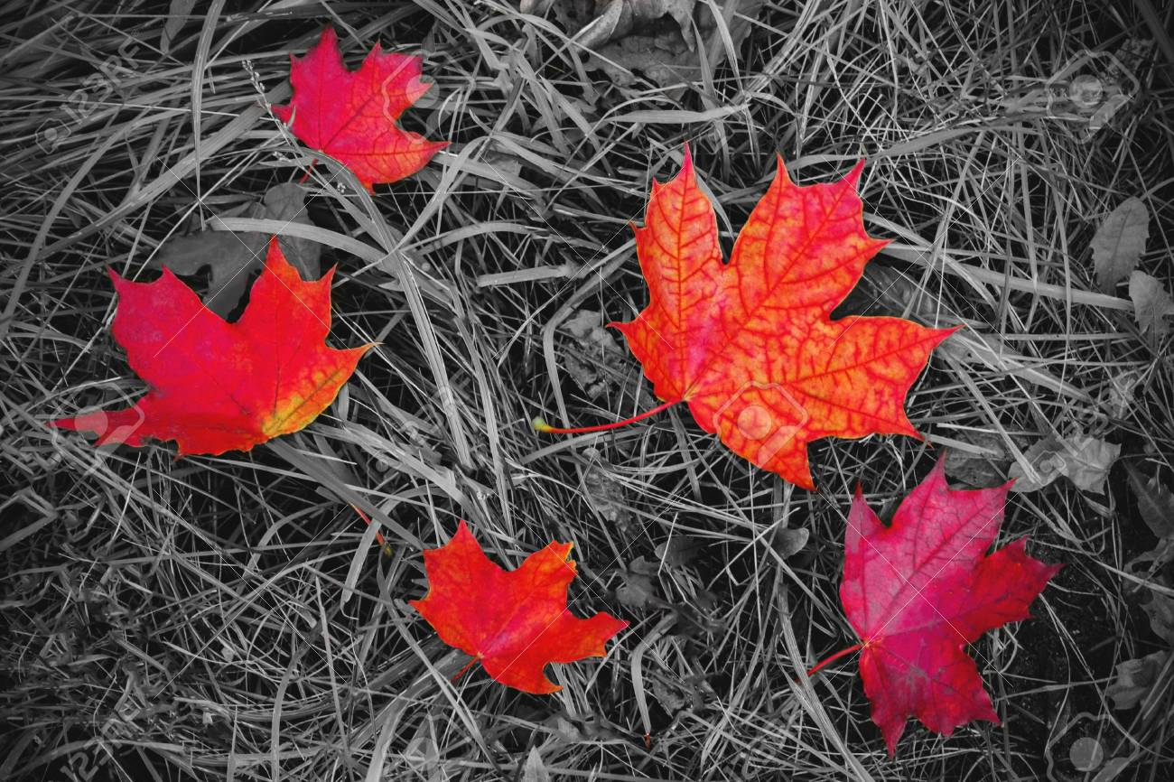 Red maple leaves on the ground black and white with a color accent background