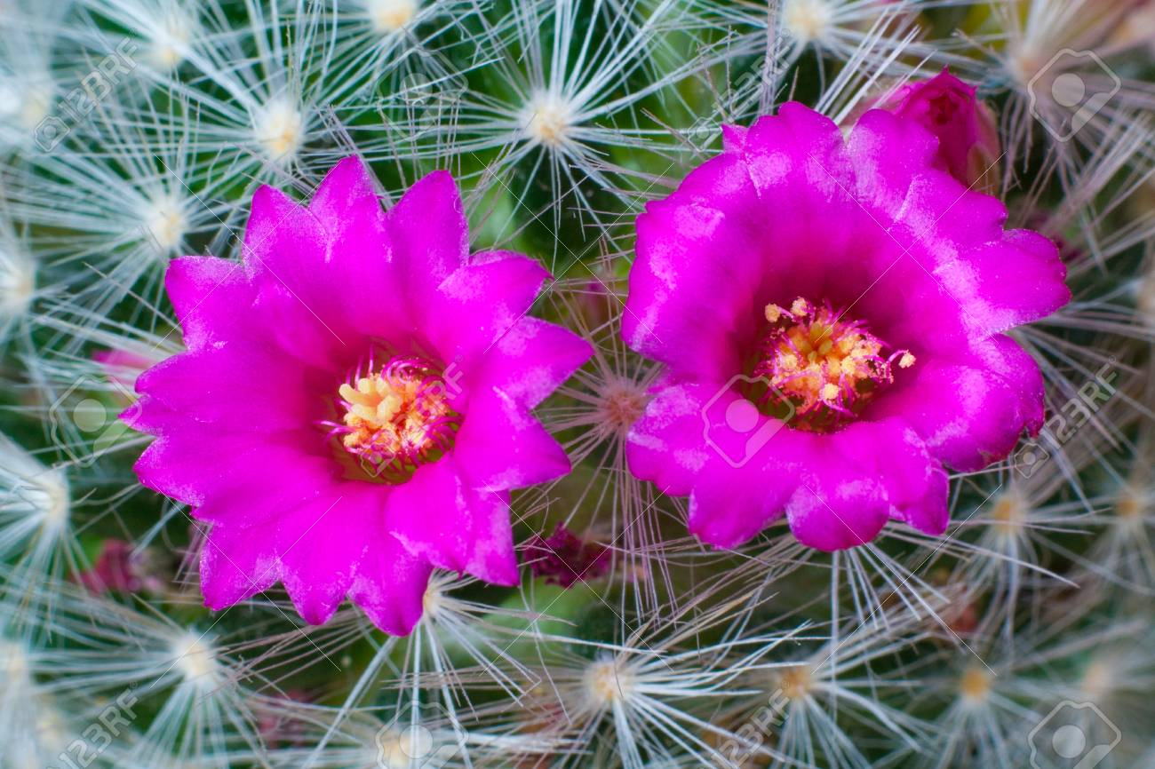 Close Up View Of A Pink Flowers Of Cactus Mammillaria Laui Macro