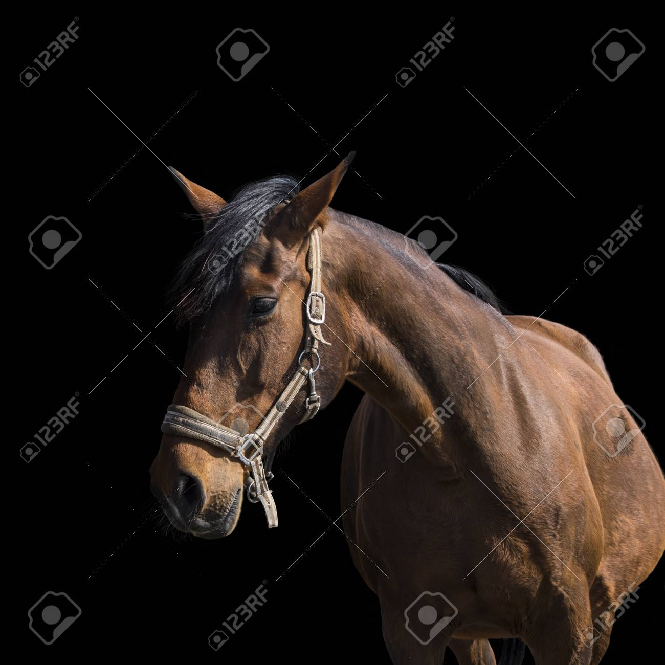 Bay Horse Portrait Over A Black Background Close Up Beautiful Stock Photo Picture And Royalty Free Image Image 121787614