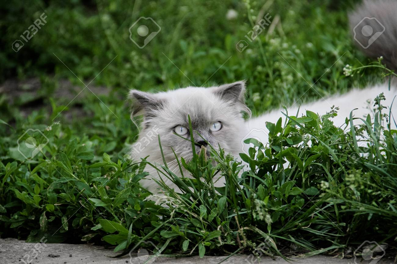 Persian Himalayan Male Cat Indoor Ways To Keep Cats Out Of Stock Photo Picture And Royalty Free Image Image 91208122