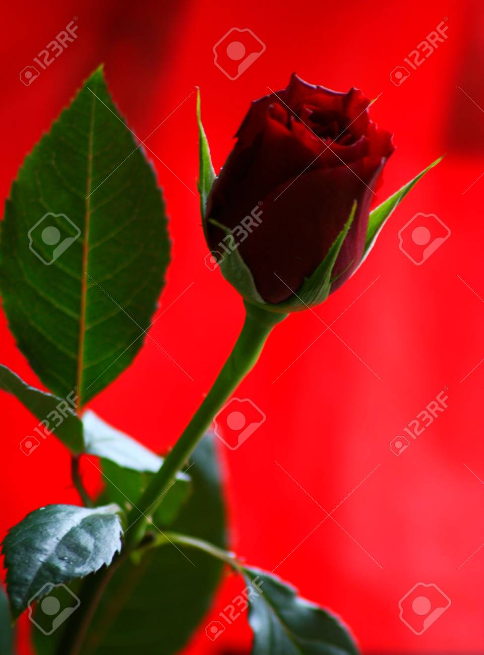 Lovely Rose Stock Photo Picture And Royalty Free Image Image 499845