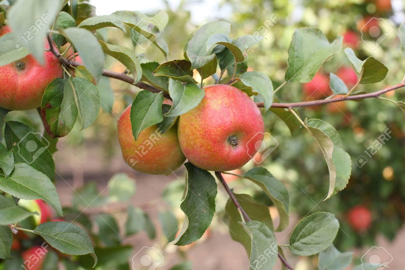 Red apples honeycrisp on apple tree branch - 84289680