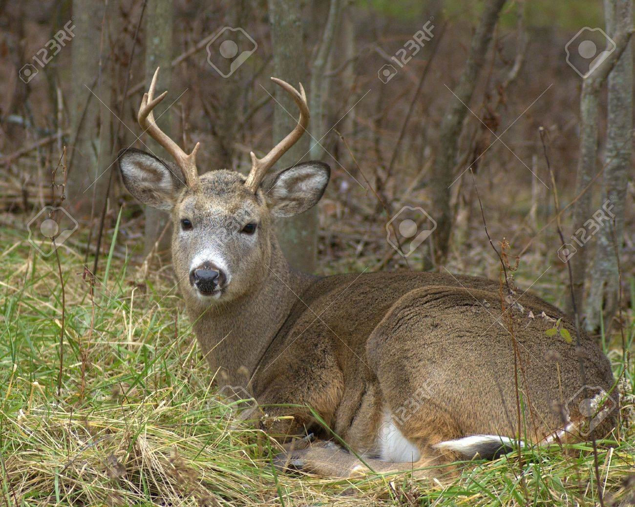 Bedded Whitetail Buck. Stock Photo - 624796