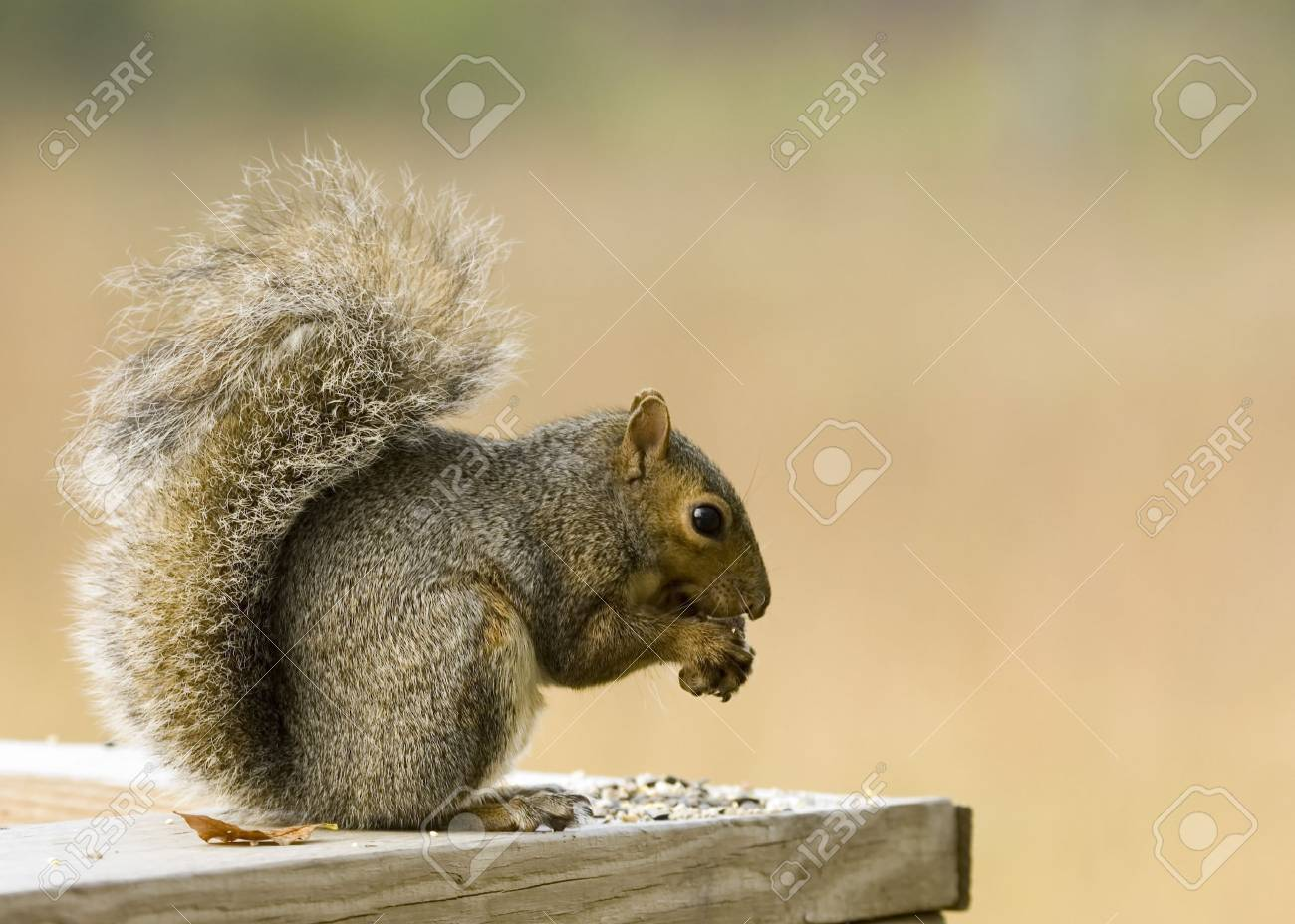 squirrel eating bird seed Stock Photo - 1831980