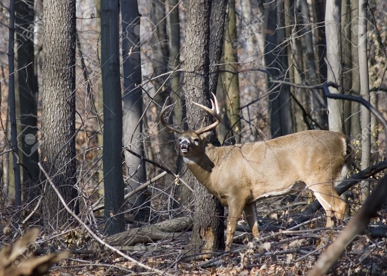 Whitetail deer buck in the woods. Stock Photo - 2102435