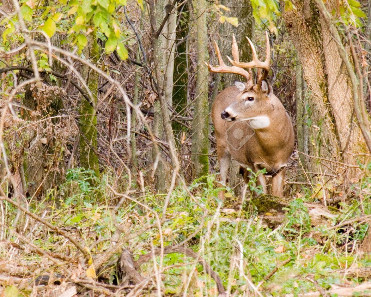 Whitetail deer buck in the woods during the rutting season. Stock Photo - 3756558