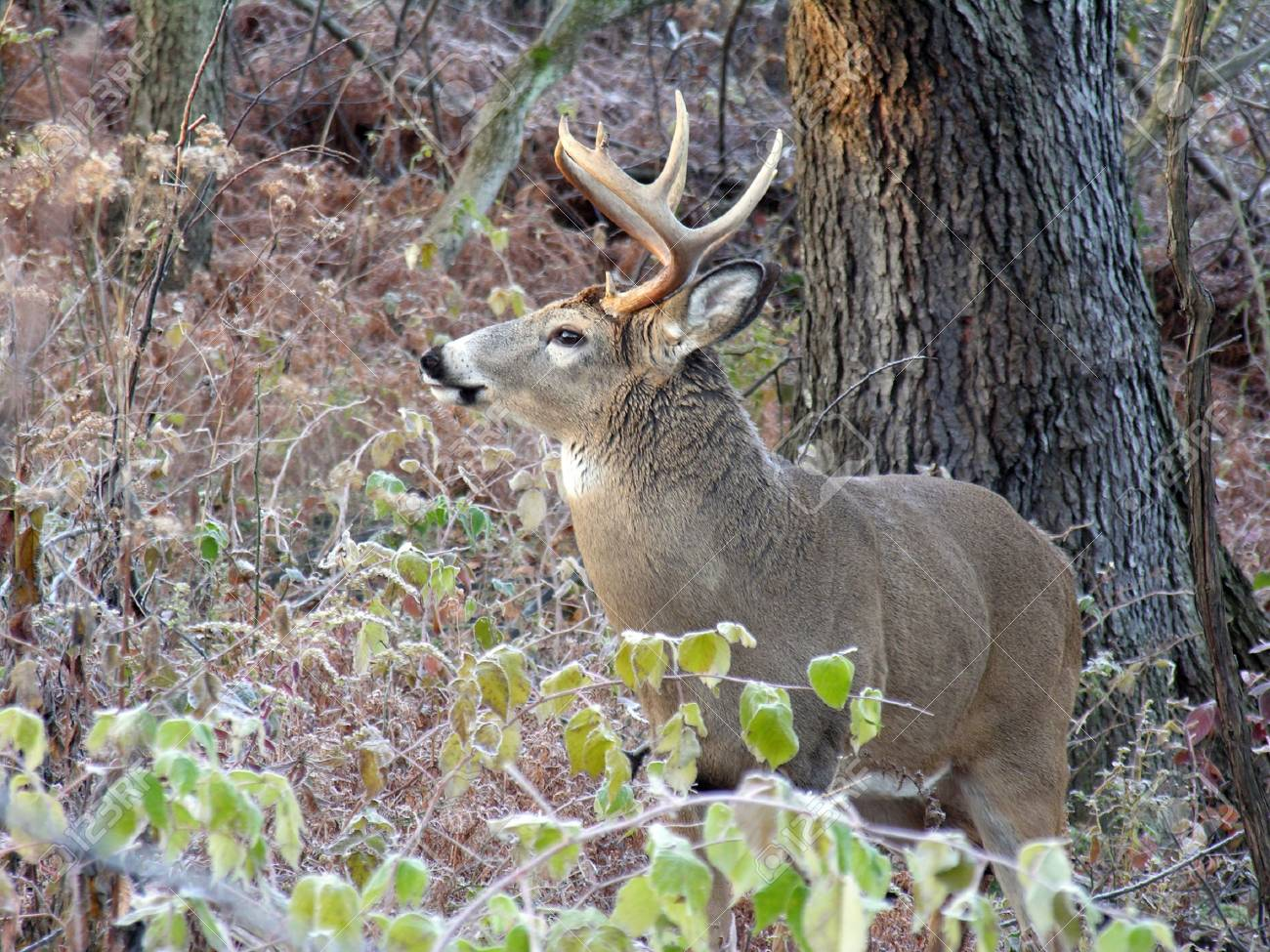 Whitetail deer buck standing in the woods. Stock Photo - 3794089