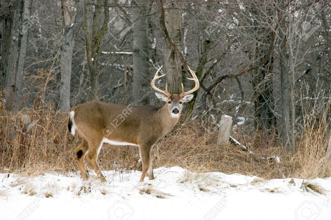 A whitetail deer buck standing in the snow. Stock Photo - 4031491