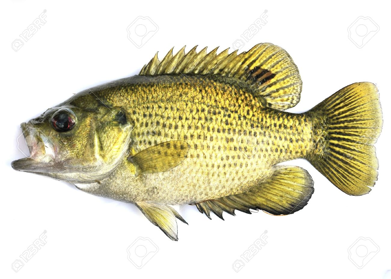 An image of a freshwater rock bass. Stock Photo - 7074276