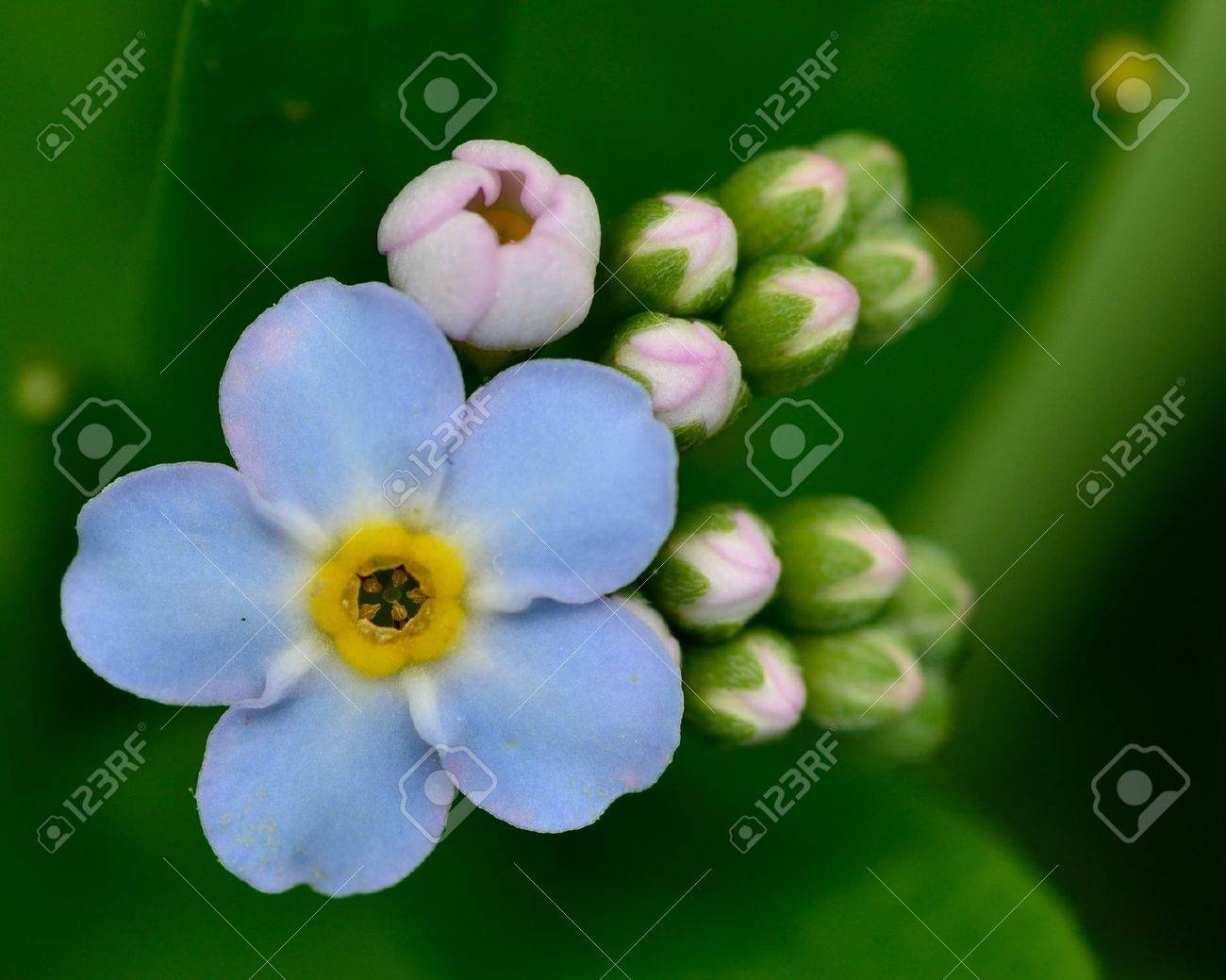 Macro closeup of a Forget Me Not Flower. Stock Photo - 14114003